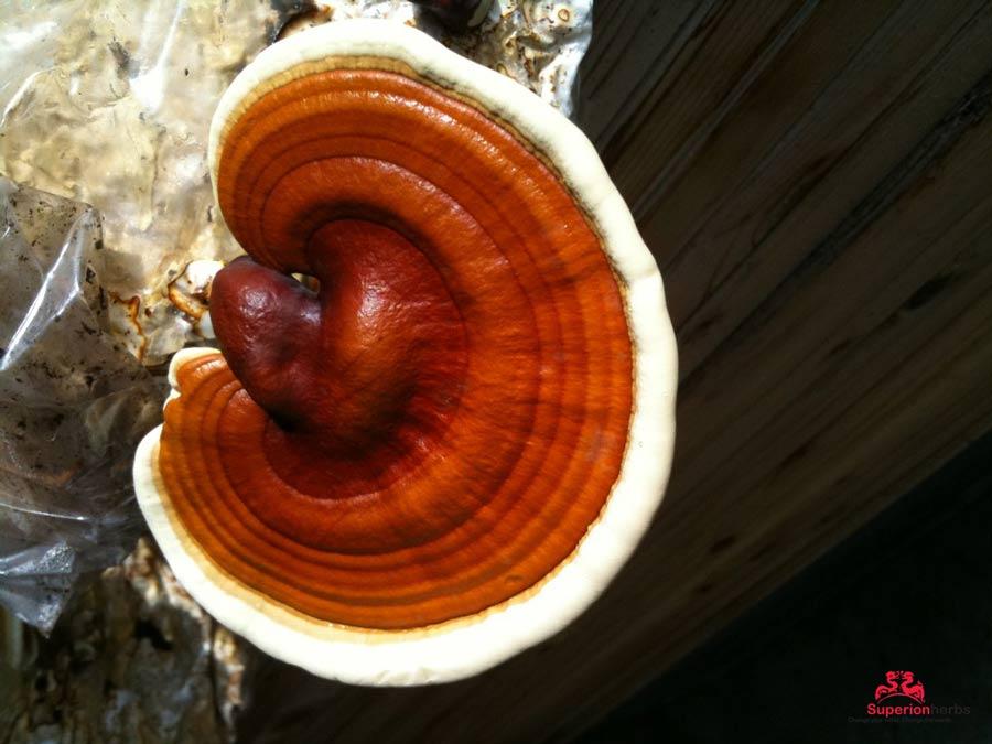reishi-mushroom