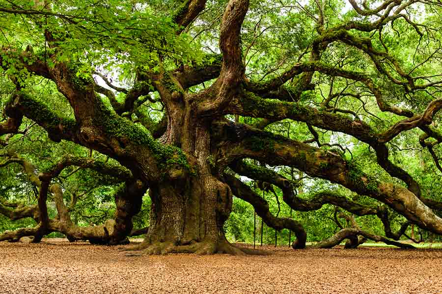 superionherbs-angel-oak