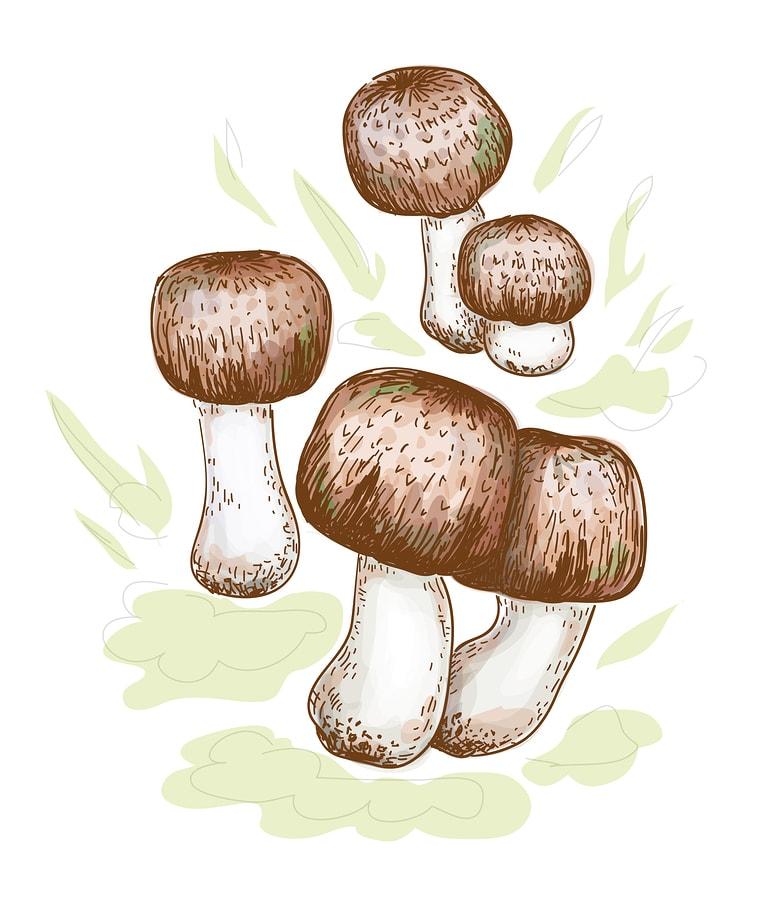 Obrázok hub - Pečiarrka mandľová