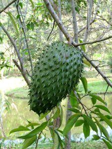 Ovocie Anony mäkkoostnaté na strome