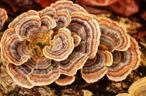 Trúdnikovec - Coriolus v prírodě