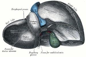 Obrázok pečene s opisom
