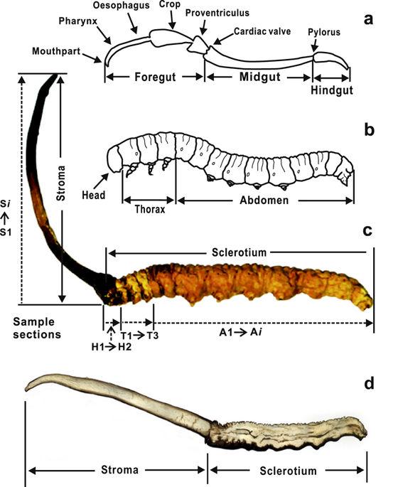cordyceps-sinensis-ilustrace