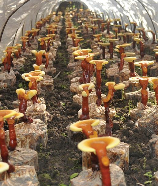 Farma pestovanie reishi