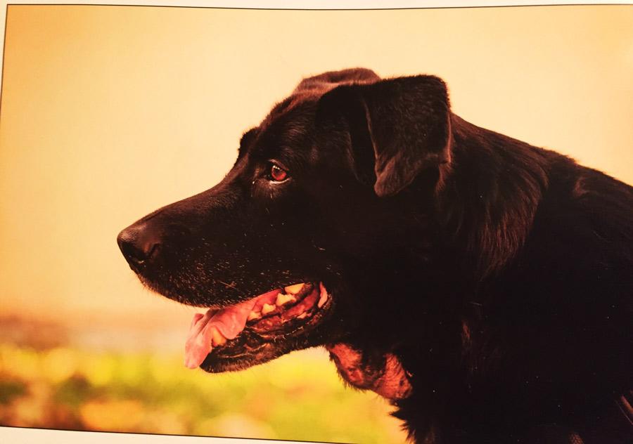 Pes léčený z rakoviny pomocí medicinálních hub
